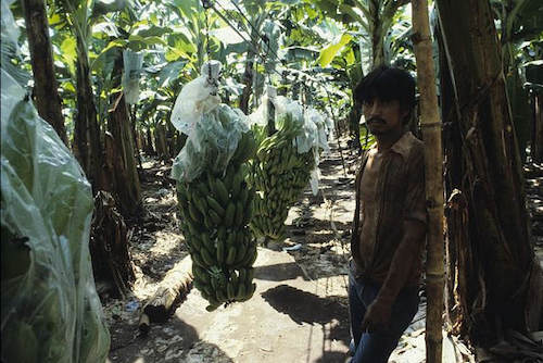 banana plantation unhappy frustrated sad chemical agrochemical pesticides blue bags waste