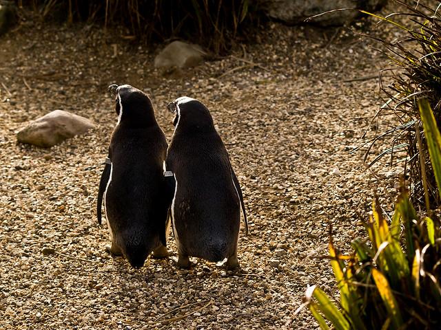 penguins love soul mate couple