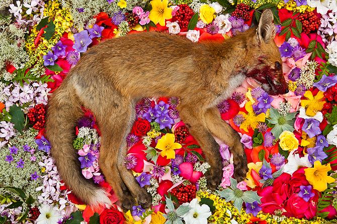 Dead Fox in Flowers