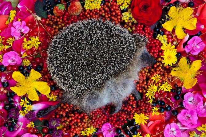 Dead Hedgehog in Flowers