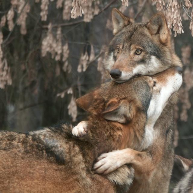 BIG_WOLVE_HUG!!_(4276606933)_(2)