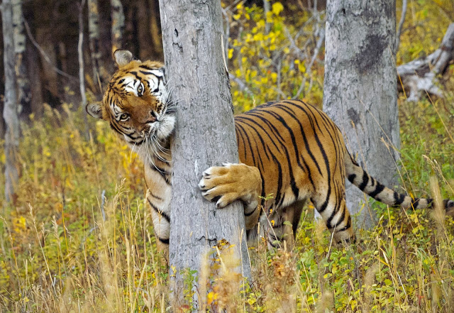 Illegal Hardwood Harvesting Destroys Siberian Tiger