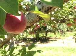 Apple on tree-Hines