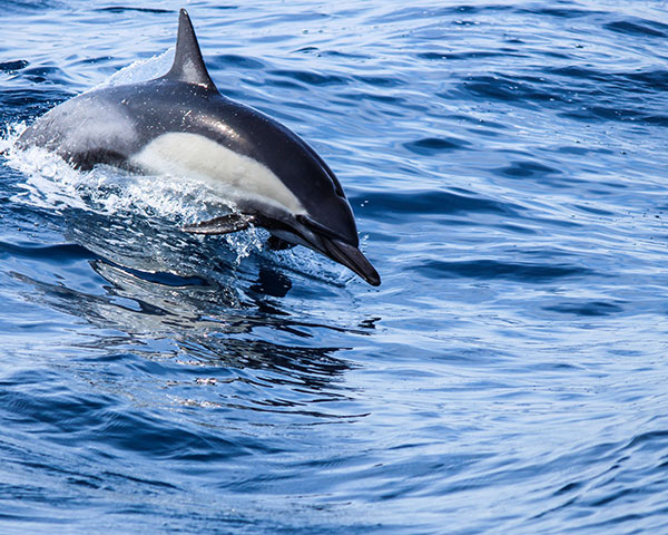 dolphin-blue-ocean-free