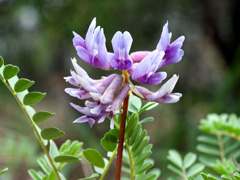 Astragalus and Life Force