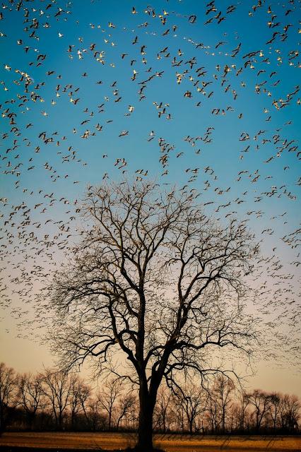 birds tree snow geese