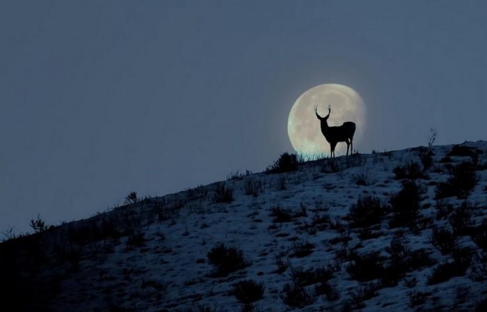 moon, deer, nature, wild