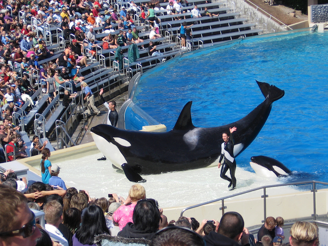 Orcas_at_SeaWorld_show