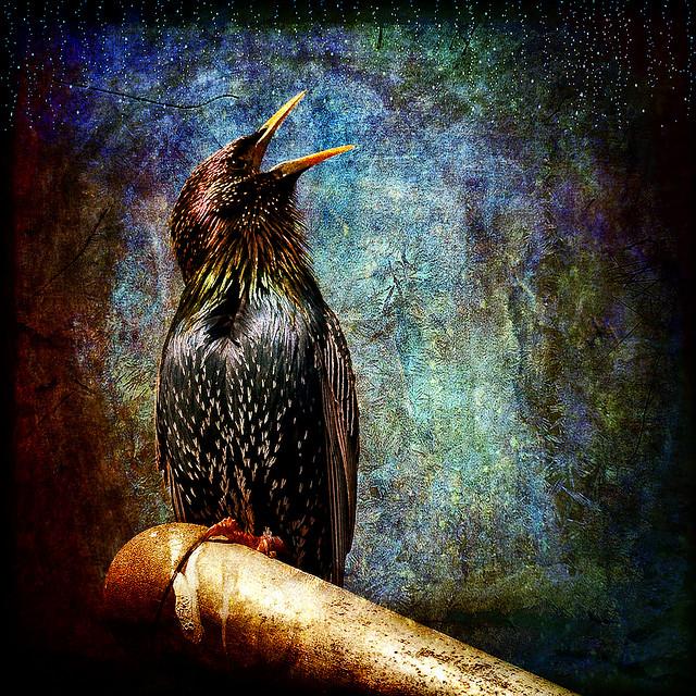 starling sing