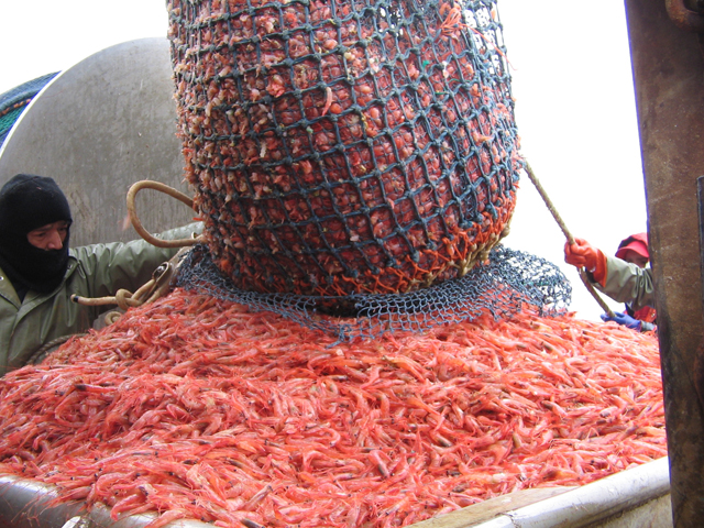 Northern_shrimp_on_shrimp_boat