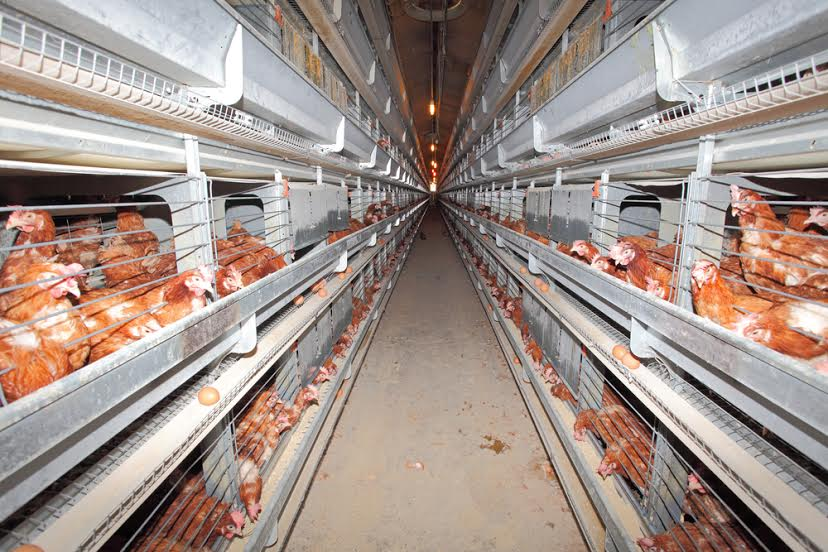 Chicken, agriculture, factory farm, battery cage