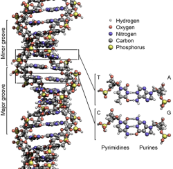 1280px-DNA_Structure+Key+Labelled.pn_NoBB