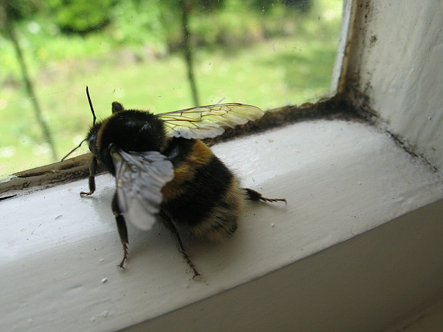 Bee, window sill