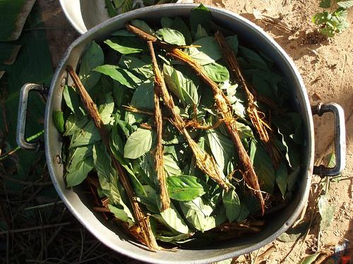 https://commons.wikimedia.org/wiki/File:Ayahuasca_and_chacruna_cocinando.jpg