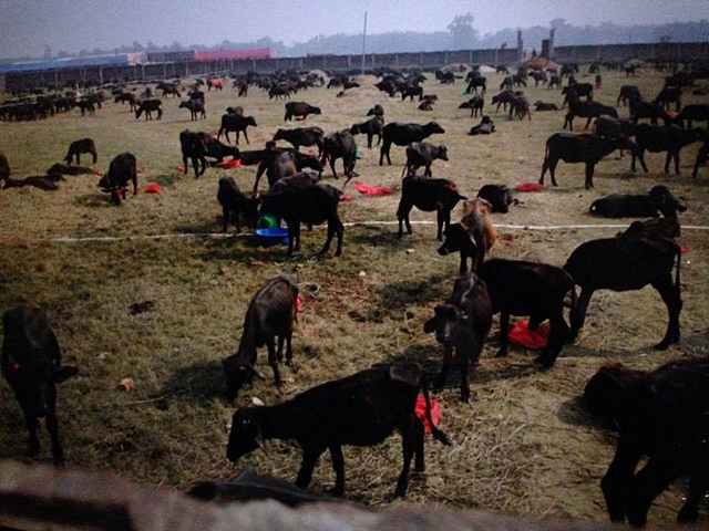 """""""Animals ready to be cut in Gadhimai Festival"""", Amrit Ghimire Ranjit, Wikimedia commons"""