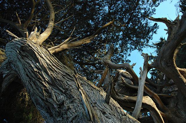 Monterey cypress tree