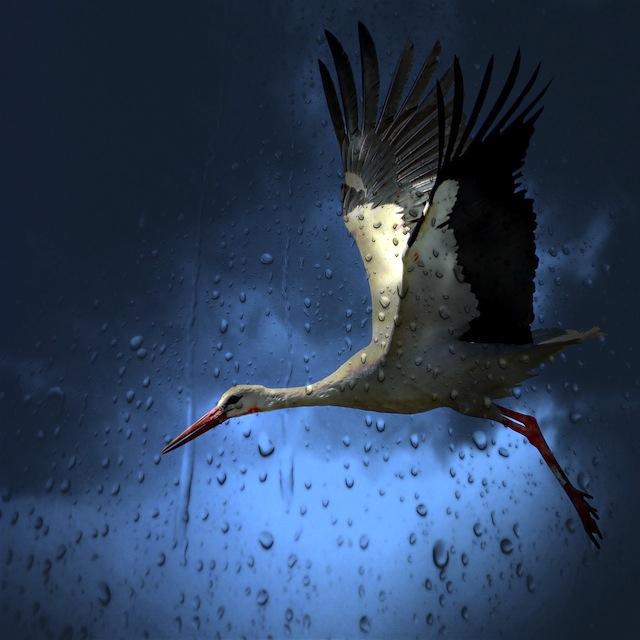 stork in the rain