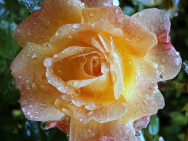rose, silence, stillness, raindrops, peace