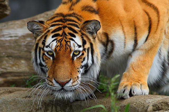 tiger waiting watching