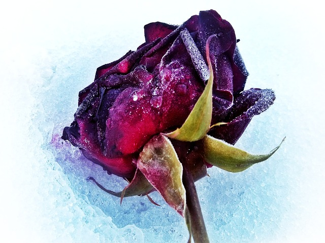 rose, snow, ice, winter