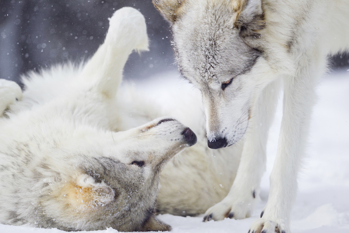 Gray Wolves Greeting in Winter Snow Wolves displaying dominant - submissive behavior Canis lupus MORE WOLVES[url= http://www.istockphoto.com/search/lightbox/12059515#1ea2c111] [IMG]http://i.istockimg.com/file_thumbview_approve/12170610/1/stock-photo-12170610-wild-wolf-in-winter.jpg[/IMG] [/URL] MORE MAMMALS[url=http://www.istockphoto.com/search/lightbox/4044667] [IMG]http://www.istockphoto.com//file_thumbview_approve/7688853/1/istockphoto_7688853-bull-moose-portrait-and-autumn-foliage.jpg[/IMG] [IMG]http://www.istockphoto.com//file_thumbview_approve/10557169/1/istockphoto_10557169-grizzly-bear-cub.jpg[/IMG] [IMG]http://www.istockphoto.com//file_thumbview_approve/5812523/1/istockphoto_5812523-deer-buck-in-winter-snow.jpg[/IMG] [/URL]