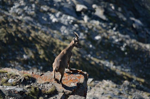 capricorn ram mountain goat