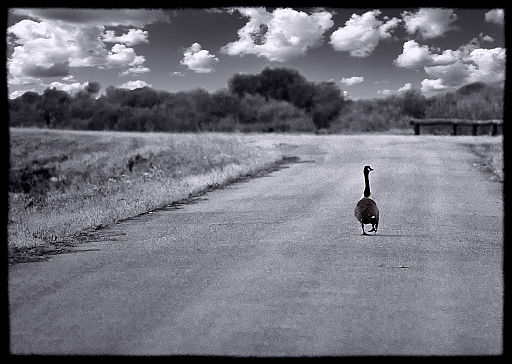 By MJ Boswell from Annapolis, Md, USA (Lone Goose on Road) [CC BY 2.0 (http://creativecommons.org/licenses/by/2.0)], via Wikimedia Commons