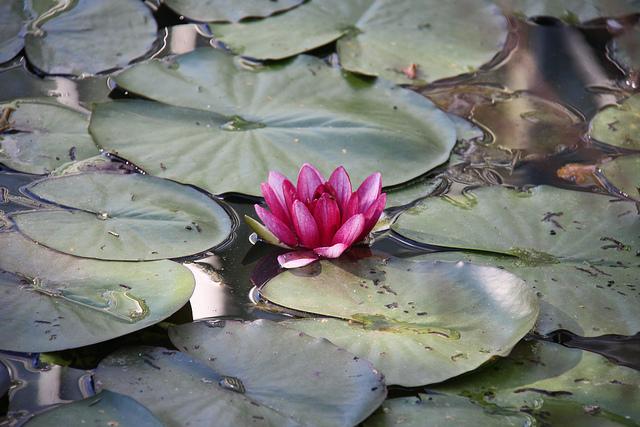 lotus mud