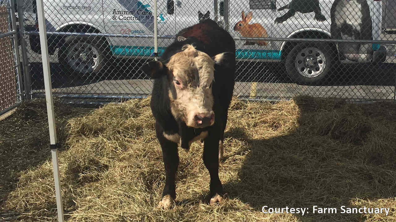 rescued bull