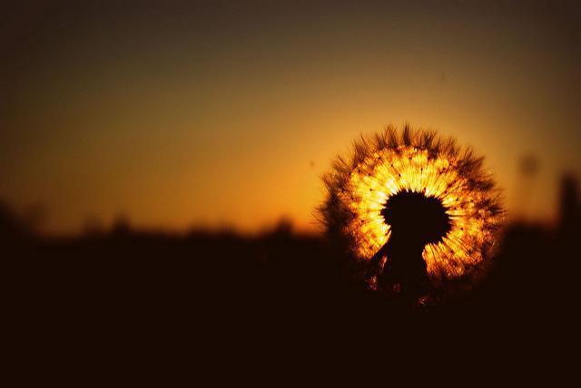 nature sunset grass dandelion - photo #3