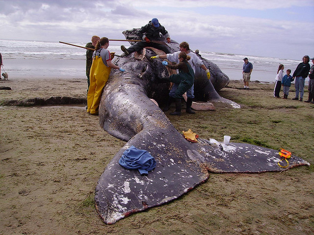 beached dead grey whale