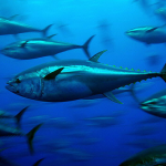 Just Say Maybe: Tuna. [Sustainable vs. overharvested, mercury]