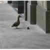A True Duck Story from Spokane.