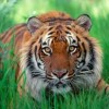 My Lovely, Strong Tiger Girl. ~ Kristin Monk {Poem}