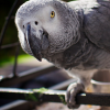 Yes, Polly Wants a Cracker. What a Parrot Taught Me about Desire.