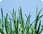 The healing effects of wheat grass juice and wheat grass extract. ~ Donna Earnest Preval