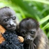 Adorable Yawning Monkey Babies.