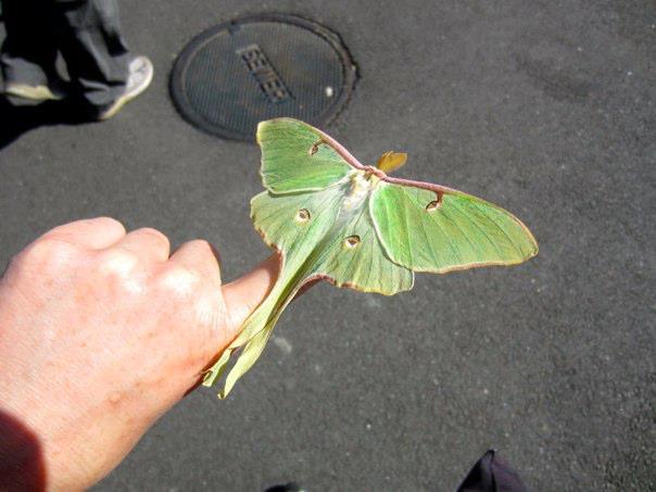 The Luna Moth Theory Rachel Lavine Elephant Journal