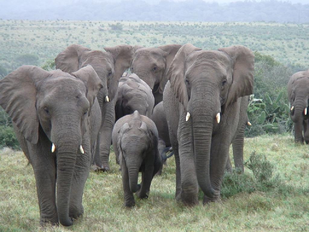 Elephant Herd Elephant Journal