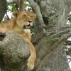Simhasana: to roar like a lion.