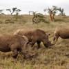 Wildlife Protection Efforts Cause Too Many Black Rhinos. ~ Jeremy Hance