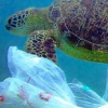 Ocean Plastic's Impact on Wild Sea Turtles. ~ Dr. Wallace J. Nichols