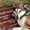 Heartbreaking Video Shows Dog Crying at the Grave of Her Owner.