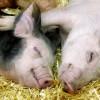 The Secret Life of Piglets.