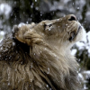 Roaring Like a Lion on Valentine's Day!