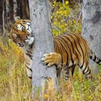 Illegal Hardwood Harvesting Destroys Siberian Tiger Habitat.