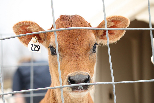 baby cow tag