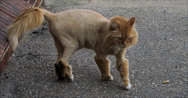 Pictures Of Shaved Long Haired Cats