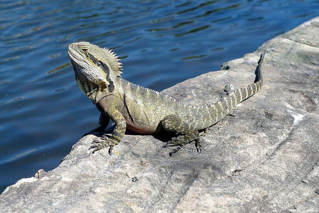 Isn't he just beautiful? I think he wanted a hug! Looks like an Eastern Water Dragon. http://www.ozanimals.com/Reptile/Eastern-Water-Dragon/Physignathus/lesueurii%20lesueurii.html