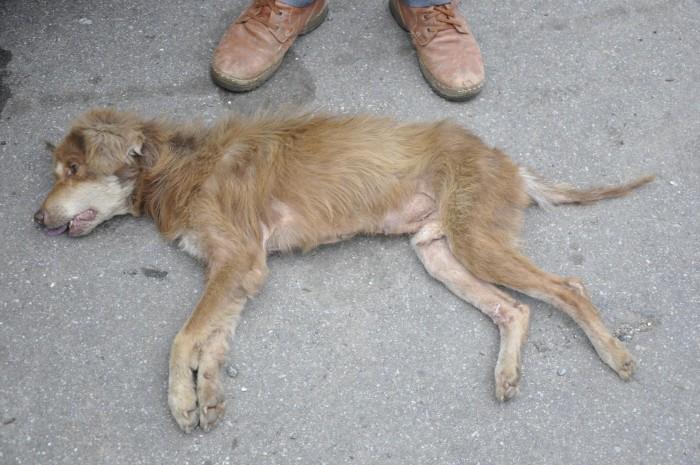Dharamsala Animal Resuce Rox